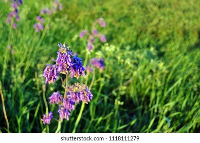 Salvia nutans blooming purple flower on green grass background