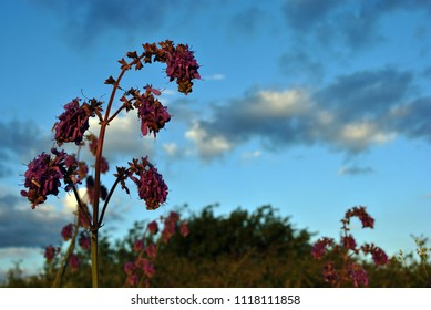 Salvia nutans blooming purple flower on cloudy evening sky background