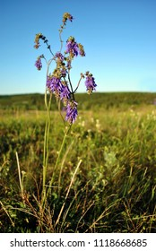 Salvia nutans blooming purple flower on green grass and blue sky background