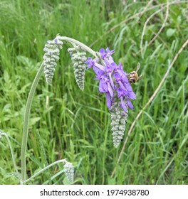 Salvia nutans in the grassland, Bee on the flower