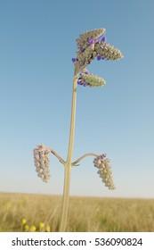 Salvia nutans Lamiac, Crimea, Ukraine, Eastern Europe