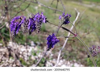 Salvia nutans, Lamiaceae. Wild plant shot in spring.