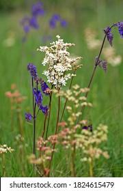 Salvia nutans (Nodding sage). Dropwort (Filipendula vulgaris). Steppe
