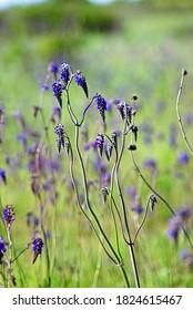 Salvia nutans, nodding sage. Steppe