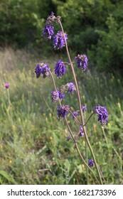 Salvia nutans - Wild plant shot in spring.