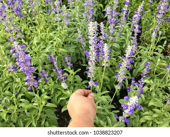 Salvia Officinalis flower blooming in the garden, purple flower blossom, woman picking violet flower