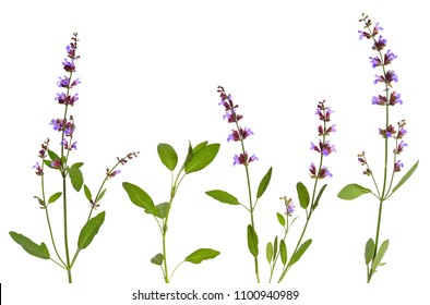 Salvia officinalis plant (sage, also called garden sage, common sage, or culinary sage) isolated on white background.