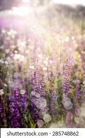 Salvia. Purple wild flowers in sunlight