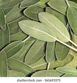 Salvia (sage, also called garden sage, or common sage), background