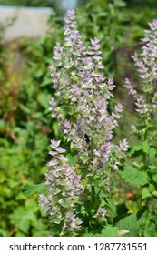 Salvia sclarea, the clary or clary sage, is a biennial or short-lived herbaceous perennial in the genus Salvia.
