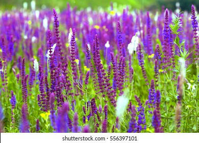 salvia. summer meadow sage background