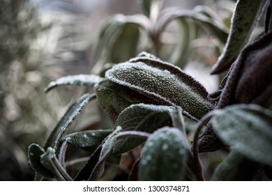 Salvia are tipped with frozen dew on a cold winter morning. Plant covered with frost, close up. Macro leaf photography