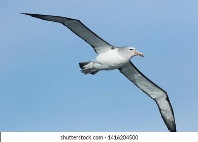 Salvin's Mollymawk Albatross in New Zealand