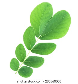 Samanea saman leaf isolated with clipping path