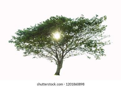 Samanea saman (Leguminosae) tree isolated on white background.