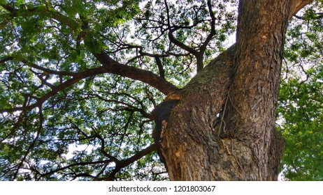 Samanea saman, Rain Tree, False Powder Puff or Monkey Pod is a multi-purpose tree often cultivated for its timber and as food, medicine, and gums among others. Big tree background.
