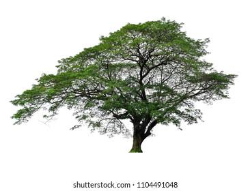 Samanea saman Tree isolated on white background.Rain Tree isolated on white background.Monkey Pod,East Indian Walnut Tree isolated on white background.