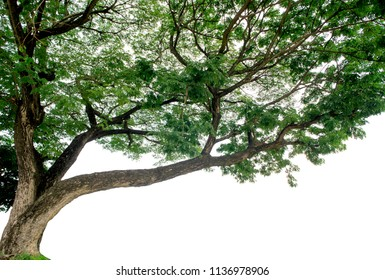 Samanea saman Tree isolated on white background.Rain Tree isolated on white background.Monkey Pod,East Indian Walnut Tree isolated on white background.