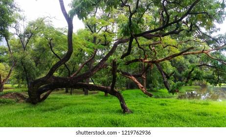 Samanea saman tree or rain tree in the garden.