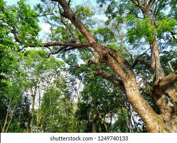 ฺBig Samanea saman tree with the sky in background
