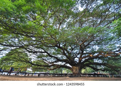 Samanea saman,Big tree have a many Branches in morning sunny day the view point in Thailand.Giant tree and the walkway around them in central of Thailand landmark.
