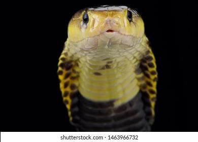 Samar spitting cobra (Naja samarensis)
