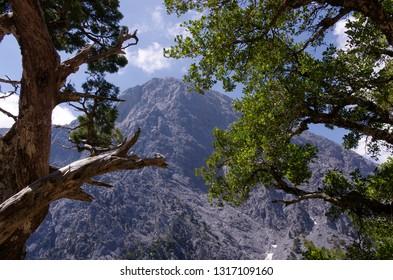 Samaria Gorge, Crete. Pine trees and rocky gorge details