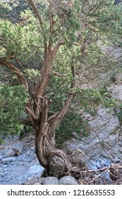 Samaria Gorge landscape at Crete in Greece. old pine tree growing.