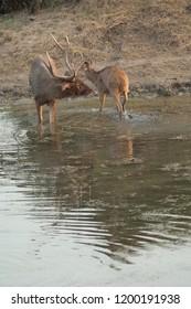 Sambar (Cervus unicolor). Male (eft) and female (right). Keoladeo Ghana. Bharatpur. Rajasthan. India.