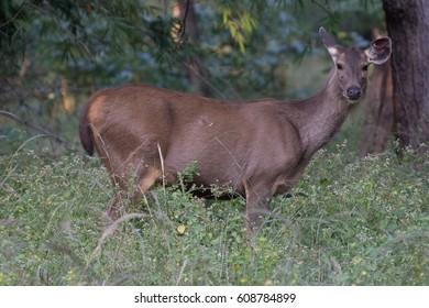 sam-bar deer