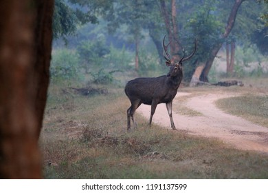Sambar deer or Asian deer crosses a field in Bandhavgarh National Park in the state of Madhya Pradesh in India.