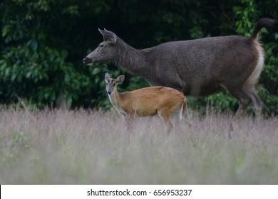 Sambar deer and Barking deer