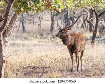 Sambar deer buck in Ranthambore National Park in Rajasthan, India
