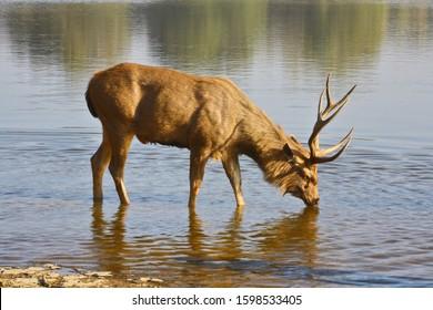 Sambar Deer (Cervus unicolor ) drinking water from Ranathambhore National Pakr, Rajasthan India