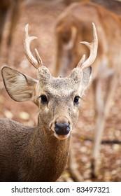 Sambar deer close up