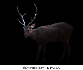 sambar deer in the dark with spotlight
