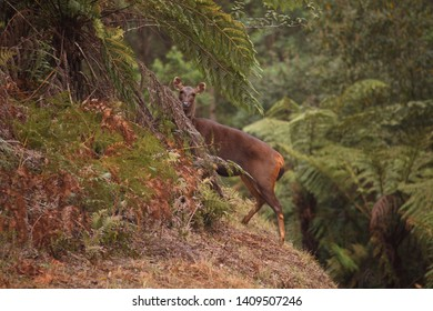 A Sambar Deer doe in a mountain forest with ferns