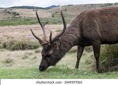 Sambar deer eating grass at Horton's plains, Sri-Lanka