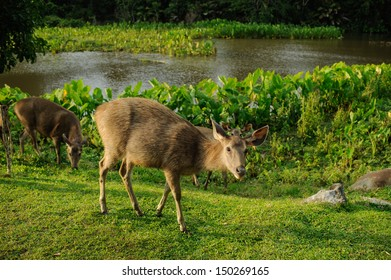 Sambar deer in forest at Khao Yai national park, Thailand