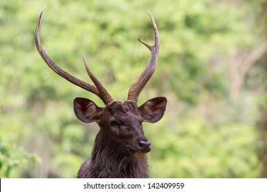 sambar deer head