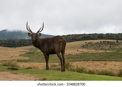 Sambar deer at Horton's plains with mountains on the background, Sri-Lanka
