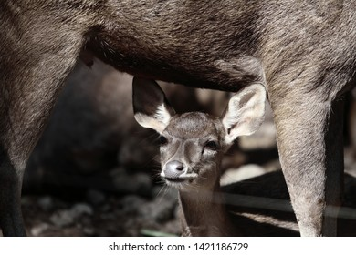 Sambar deer or sambar india is a type of large deer that is commonly used in Asia.