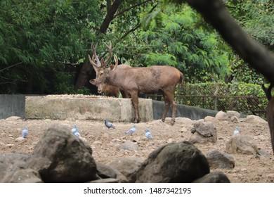Sambar Deer In Indian wildlife