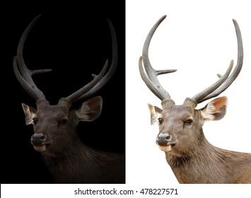 sambar deer isolated and sambar deer in the dark