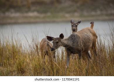 A sambar deer in kanha meadows