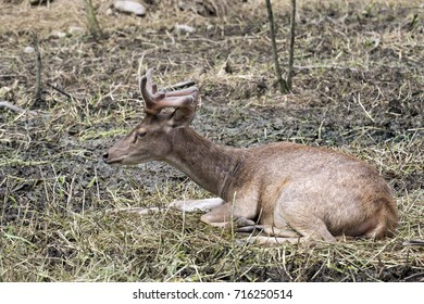 Sambar deer is a large deer lives in Southern Asia and Southeast Asia.