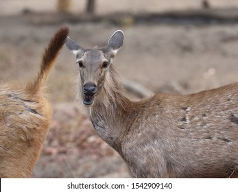 The sambar deer is largest deer species native to the Indian Subcontinent, live in woodland,dense cover,shrubs and grasses. Sambar is laughing in the frame