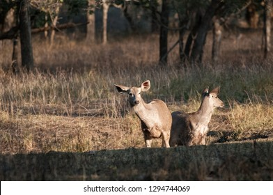 Sambar deer listening in Ranthambore National Park in Rajasthan, India