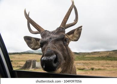 Sambar deer looking inside car window, Sri-Lanka