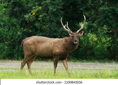 sambar deer male look at camera